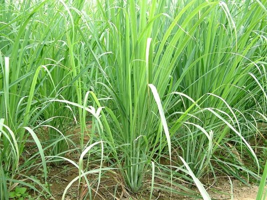 In J&K district, cultivation of lemon grass reaps profit for farmers
