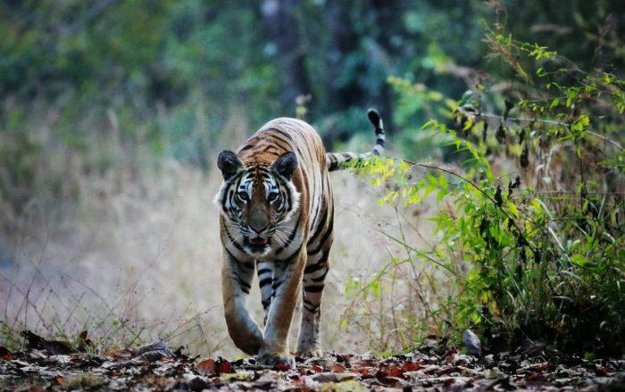 Tigers under threat